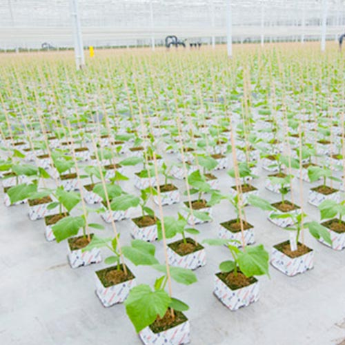 Cultivation and sale of young vegetable plants in press pots (soil blocks), trays and rockwool