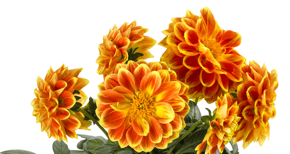 Dahlia-Labella-Medio-Fun-Orange-Flame-3