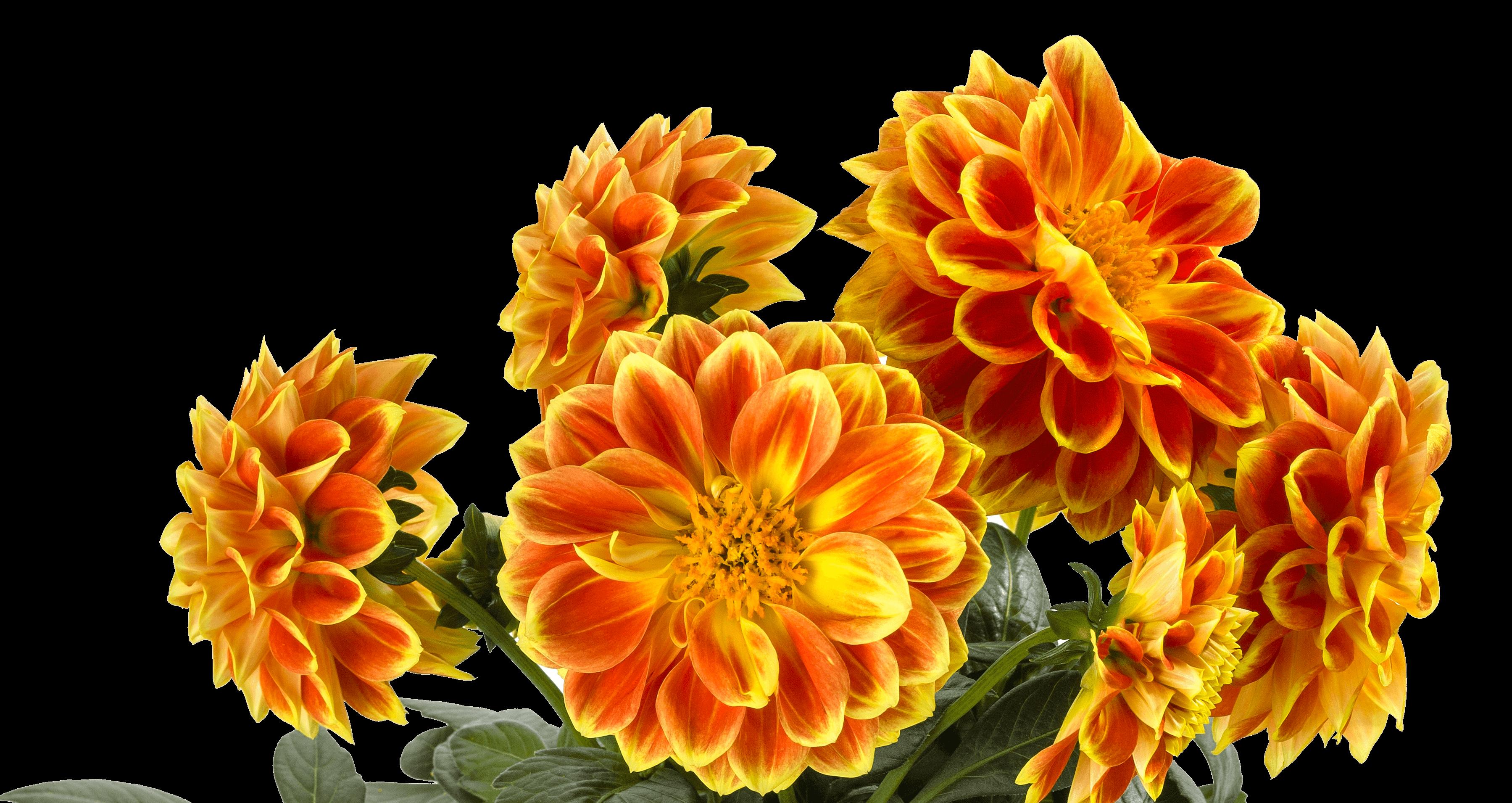 Dahlia Labella Medio Fun Orange Flame (3)