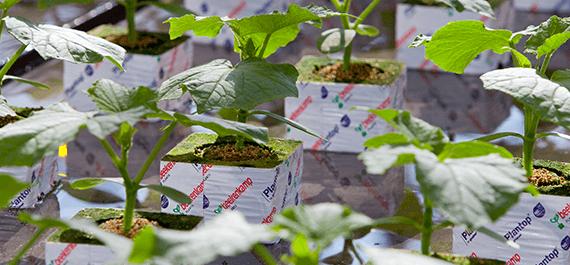 Plantas de hortalizas