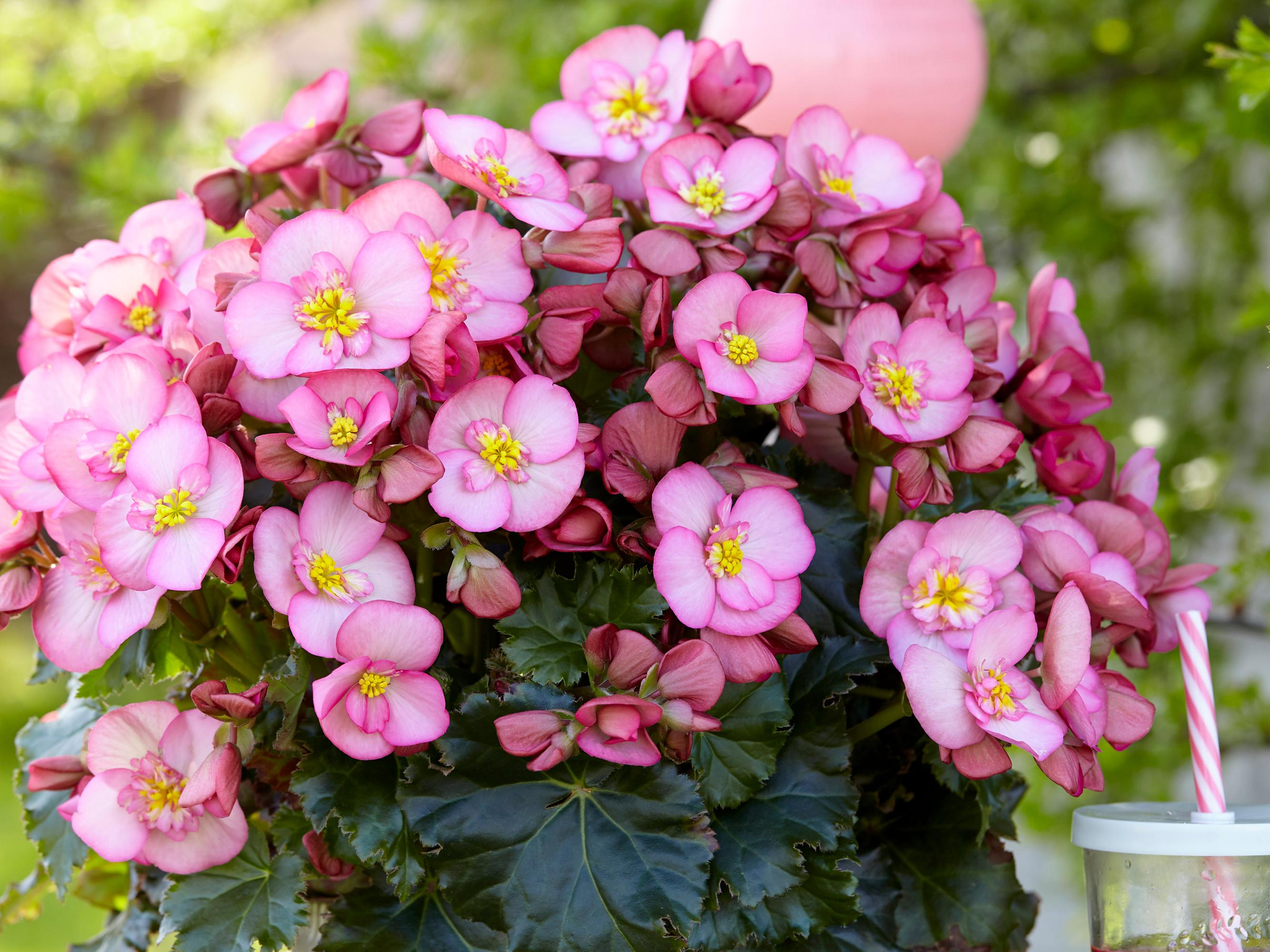 Dreams Garden MacaRose® Wint Noviteitenprijs Tijdens De Flowers Expo Moskou