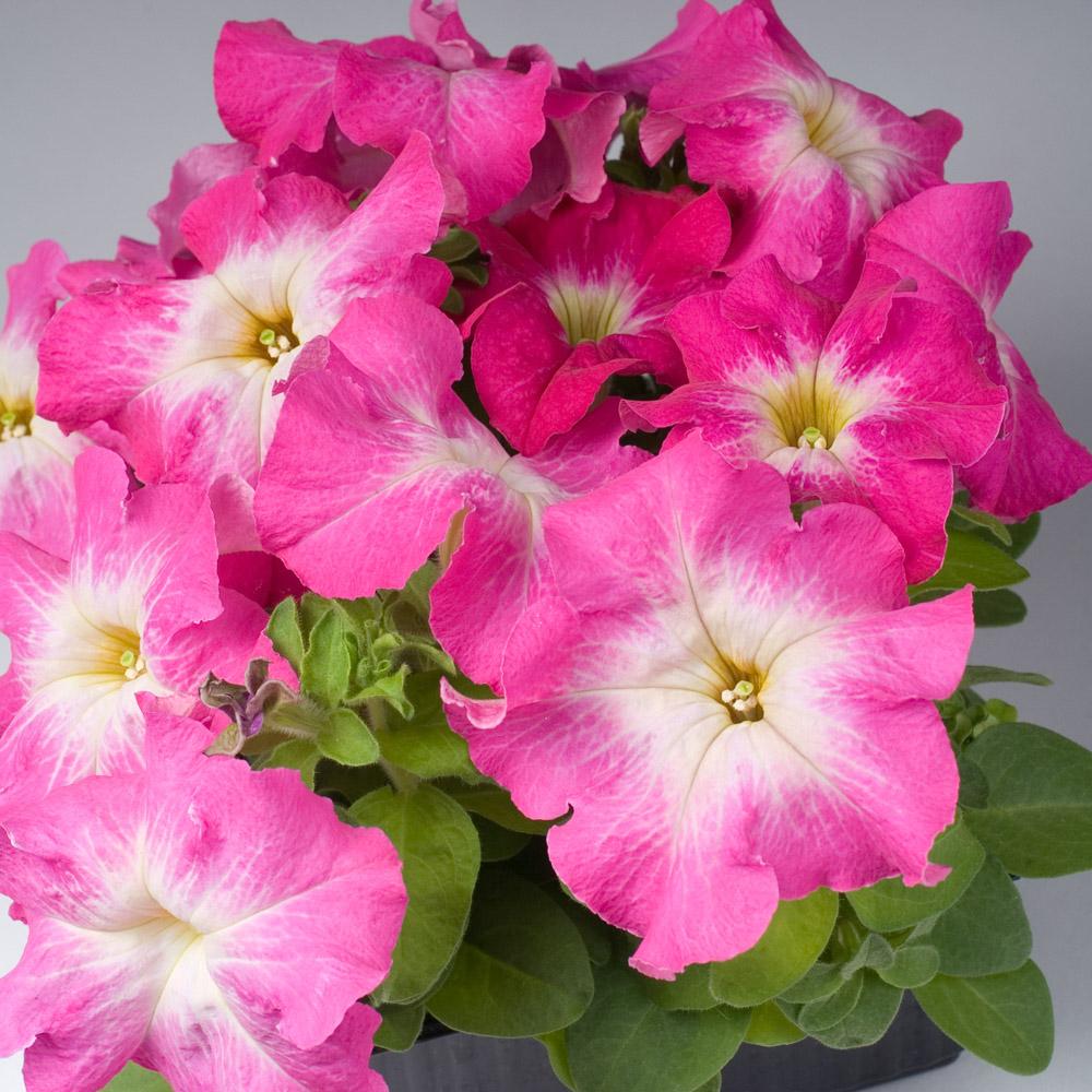 petunia limbo f1 rose morn gp beekenkamp plants. Black Bedroom Furniture Sets. Home Design Ideas