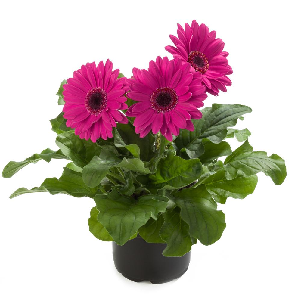 gerbera royal neon violet beekenkamp plants. Black Bedroom Furniture Sets. Home Design Ideas