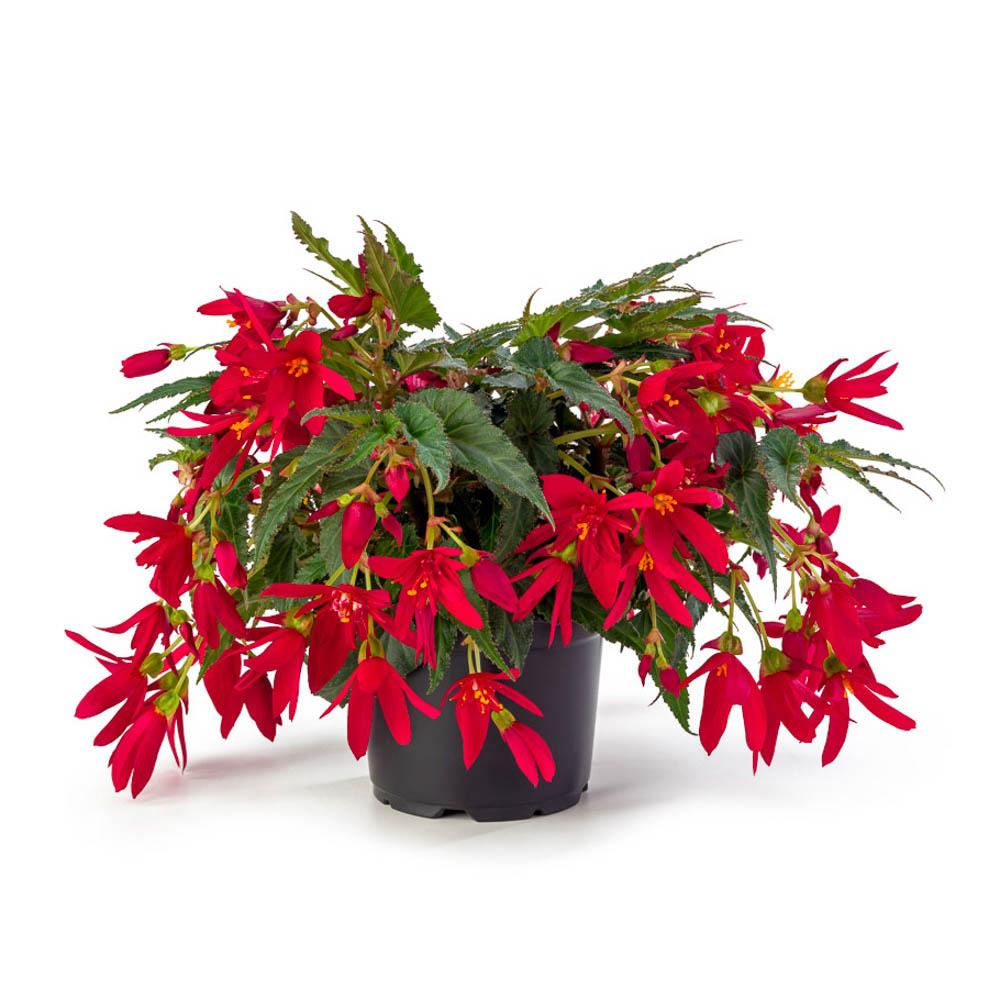 Begonia beauvilia red beekenkamp plants - Plantas para arriates ...