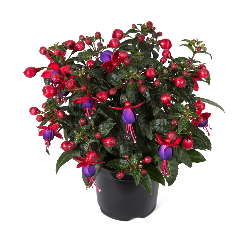 Fuchsia bella fuchsia vera beekenkamp plants - Plantas para arriates ...
