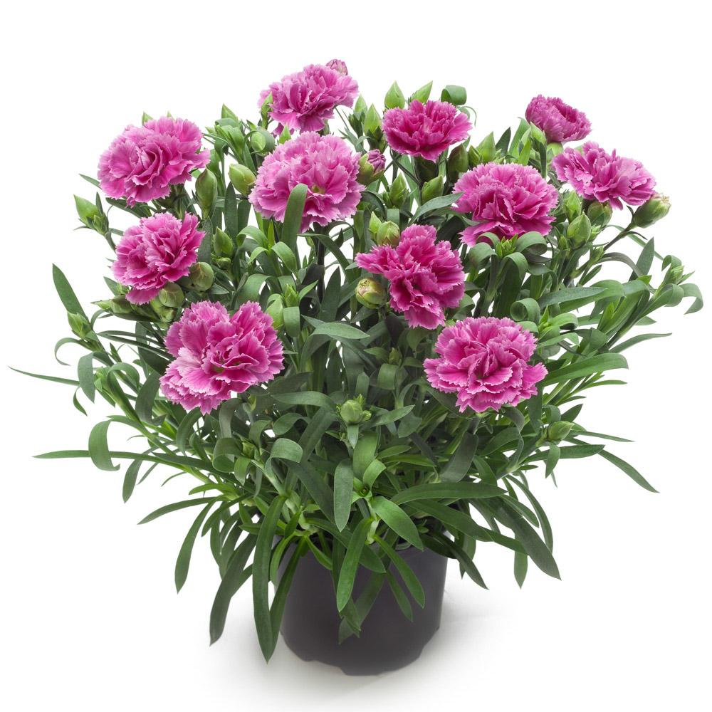 Dianthus gogo 39 s fanbon beekenkamp plants - Plantas para arriates ...