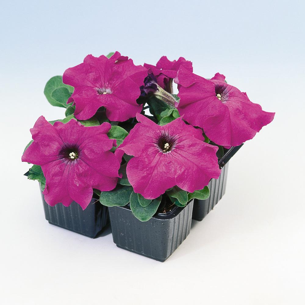 Petunia limbo f1 violet gp beekenkamp plants - Plantas para arriates ...