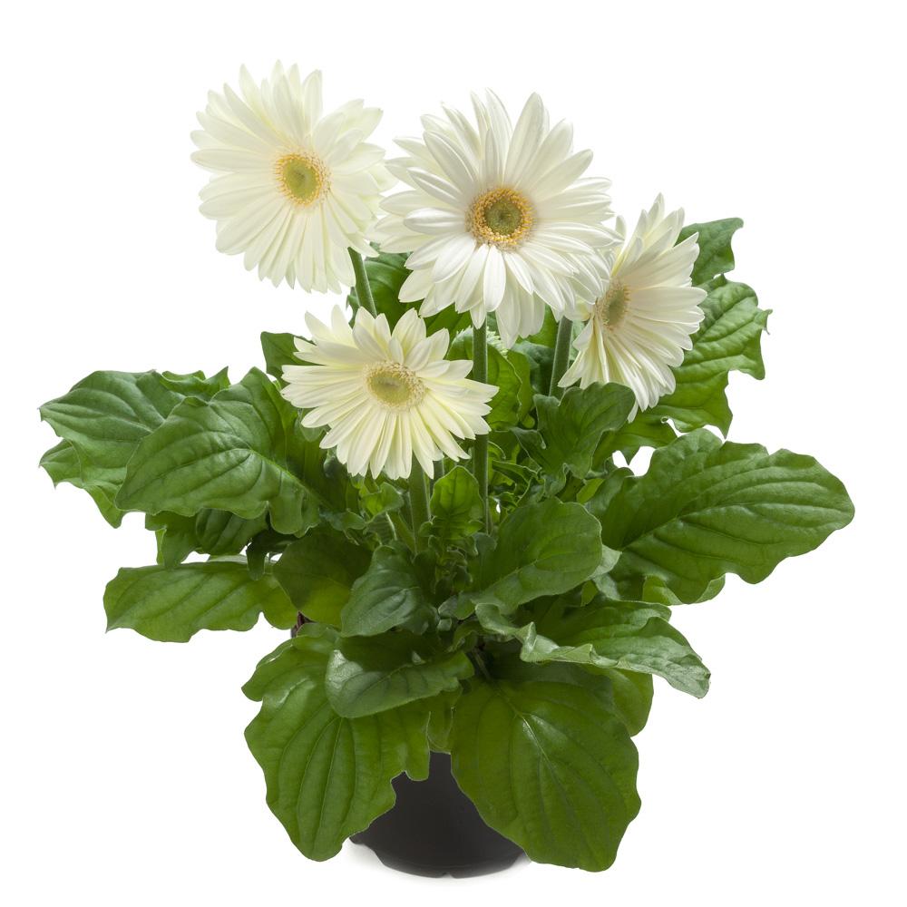 gerbera royal white fgbg57 beekenkamp plants. Black Bedroom Furniture Sets. Home Design Ideas