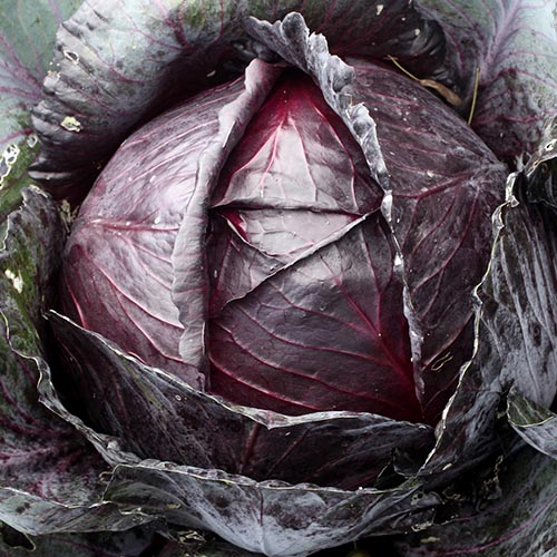 White cabbage & red cabbage