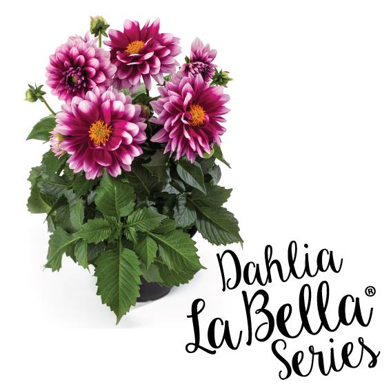 dahlia_teaser