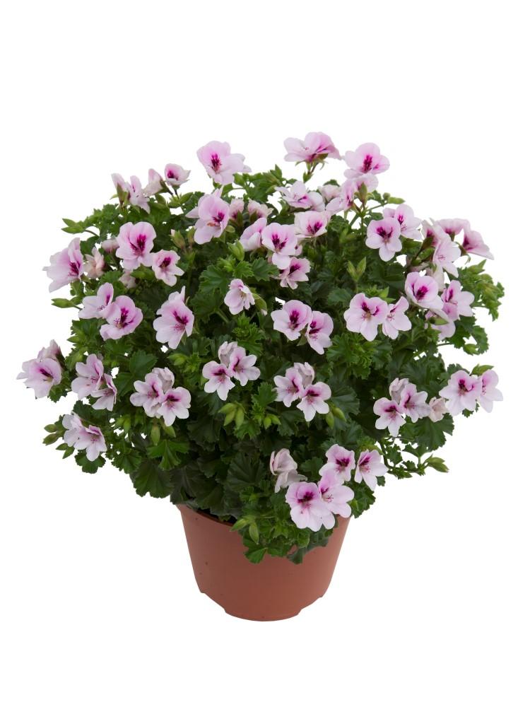 Pelargonium angel sophie beekenkamp plants - Plantas para arriates ...