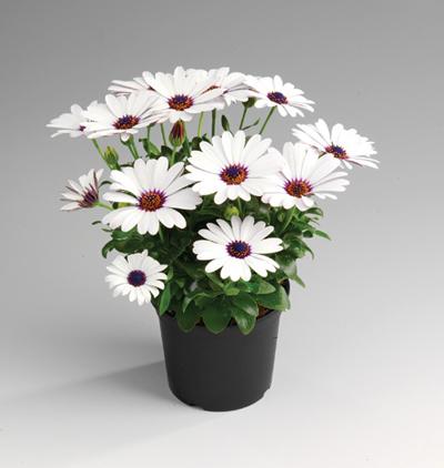 osteospermum sunny felix beekenkamp plants. Black Bedroom Furniture Sets. Home Design Ideas