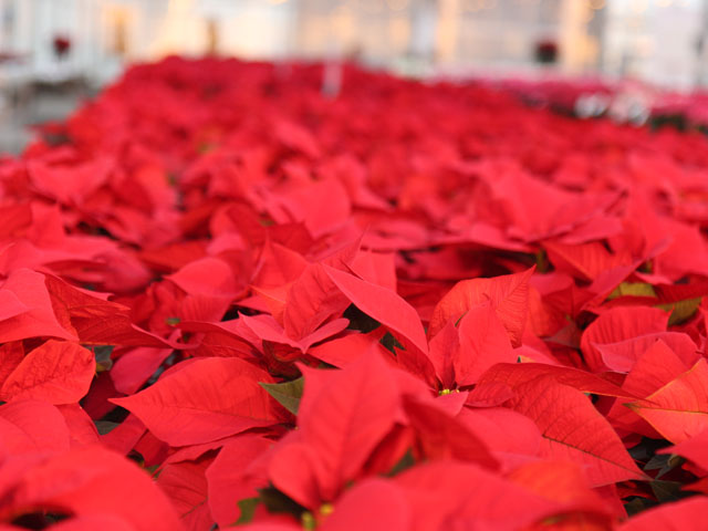 Poinsettia Trials