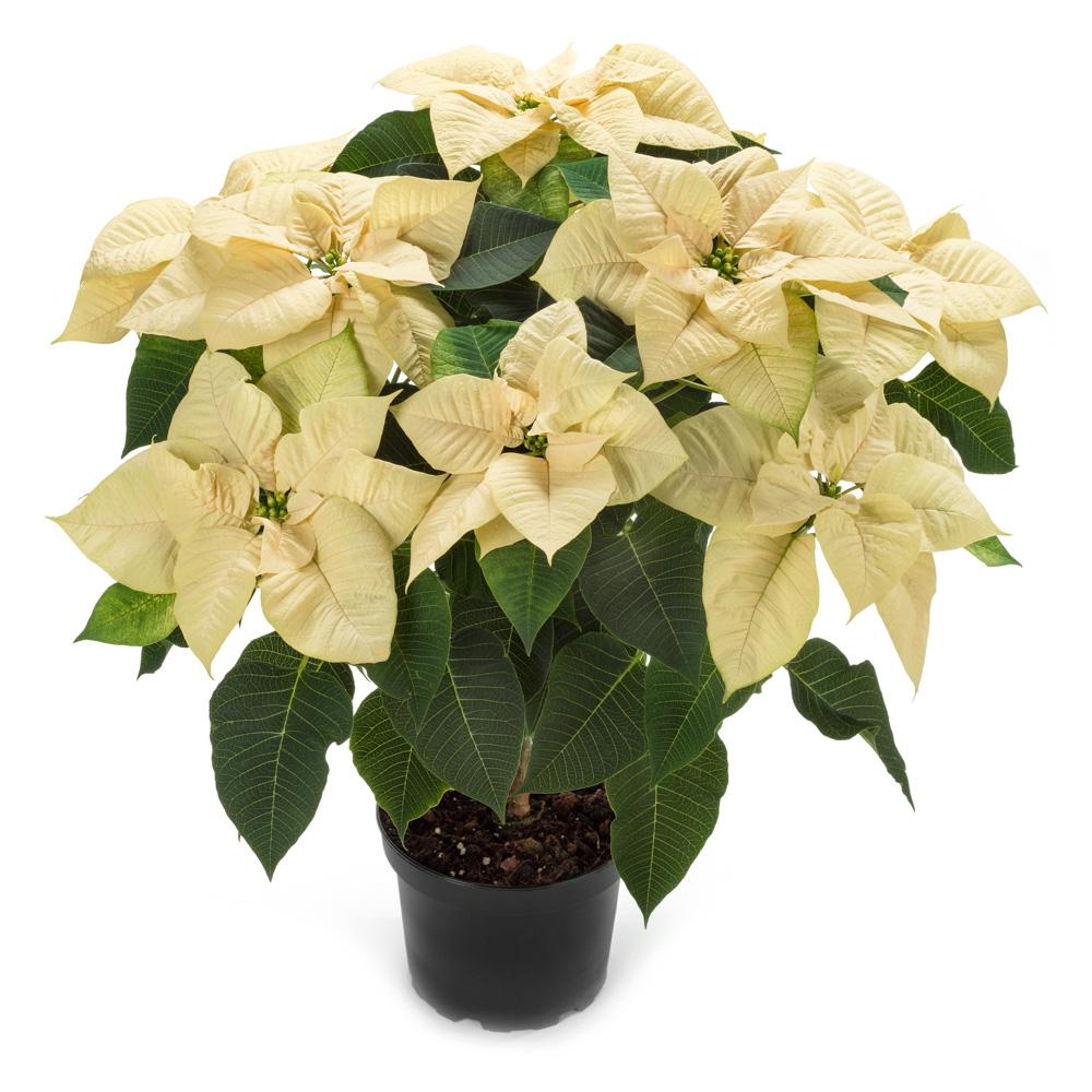 Euphorbia Saturnus® White℗