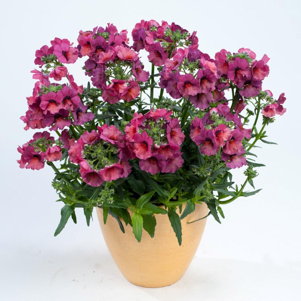 Nemesia nesia magenta beekenkamp plants - Plantas para arriates ...