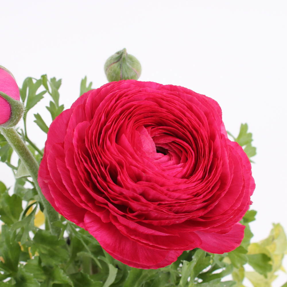 ranunculus mache rose beekenkamp plants. Black Bedroom Furniture Sets. Home Design Ideas