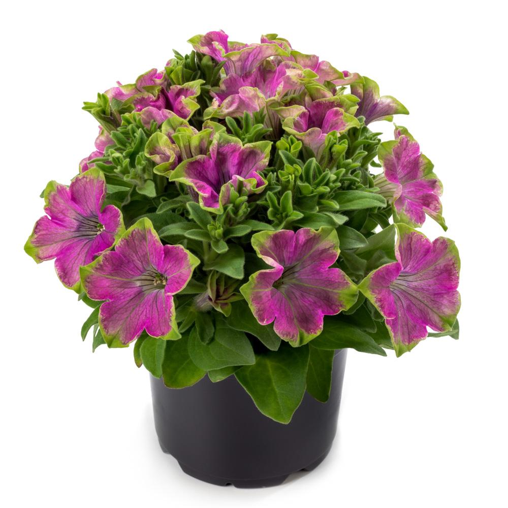 Petunia crazytunia kermit rose beekenkamp plants - Plantas para arriates ...