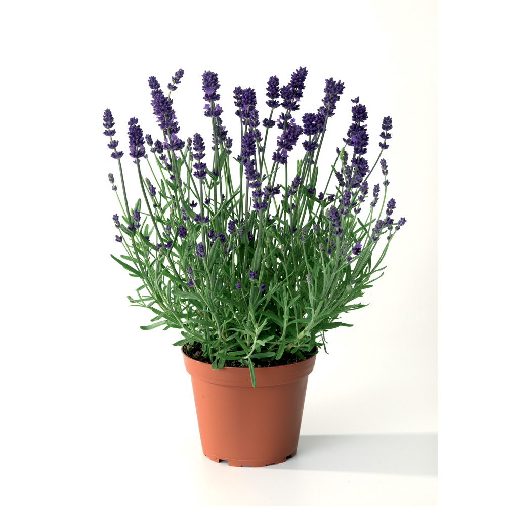 Lavandula Scent Early Blue