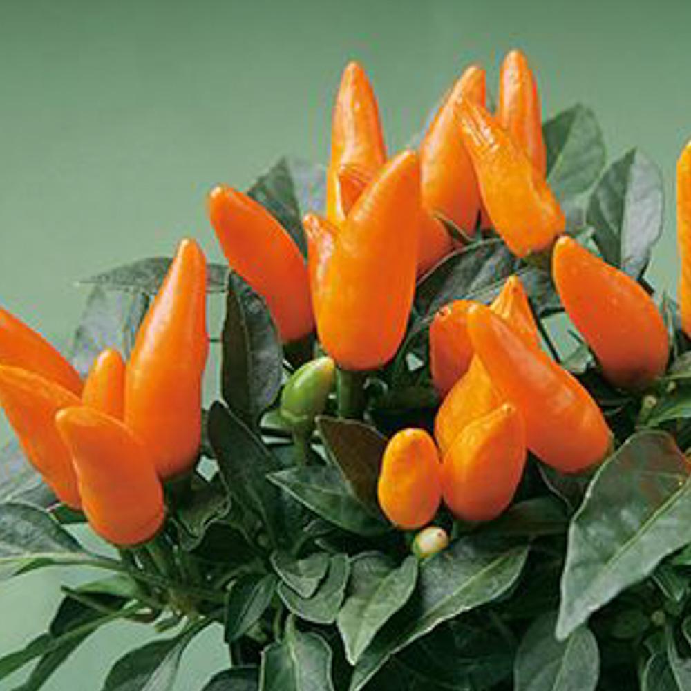 Capsicum Favorit Orange