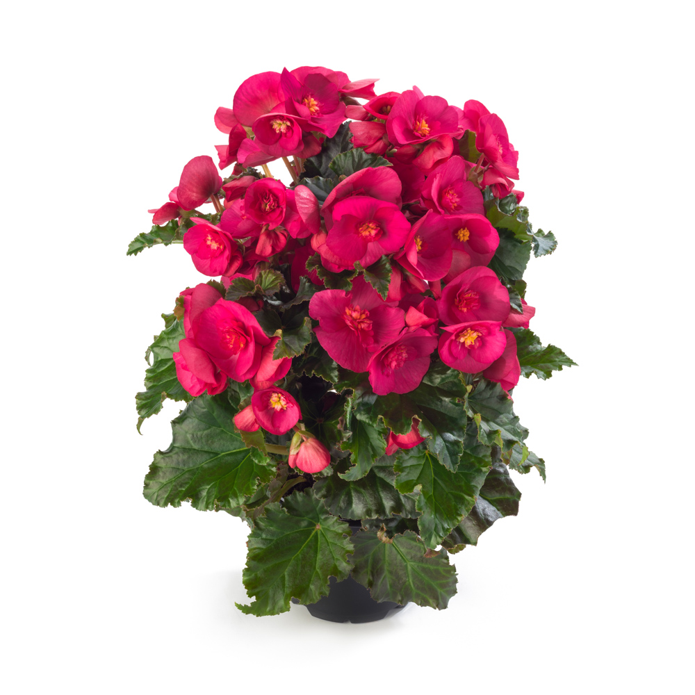 Begonia BK Collection Evi Bright Pink℗