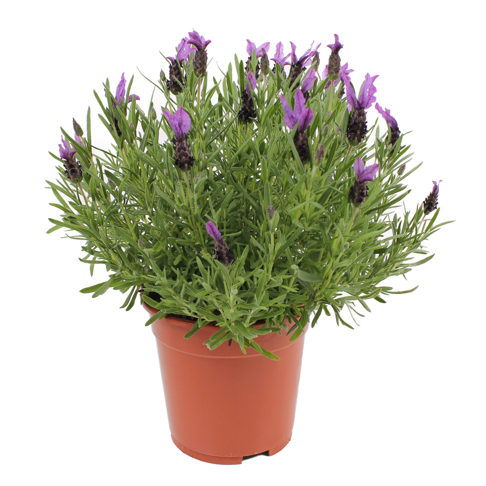 Lavandula Flirt® Purple℗