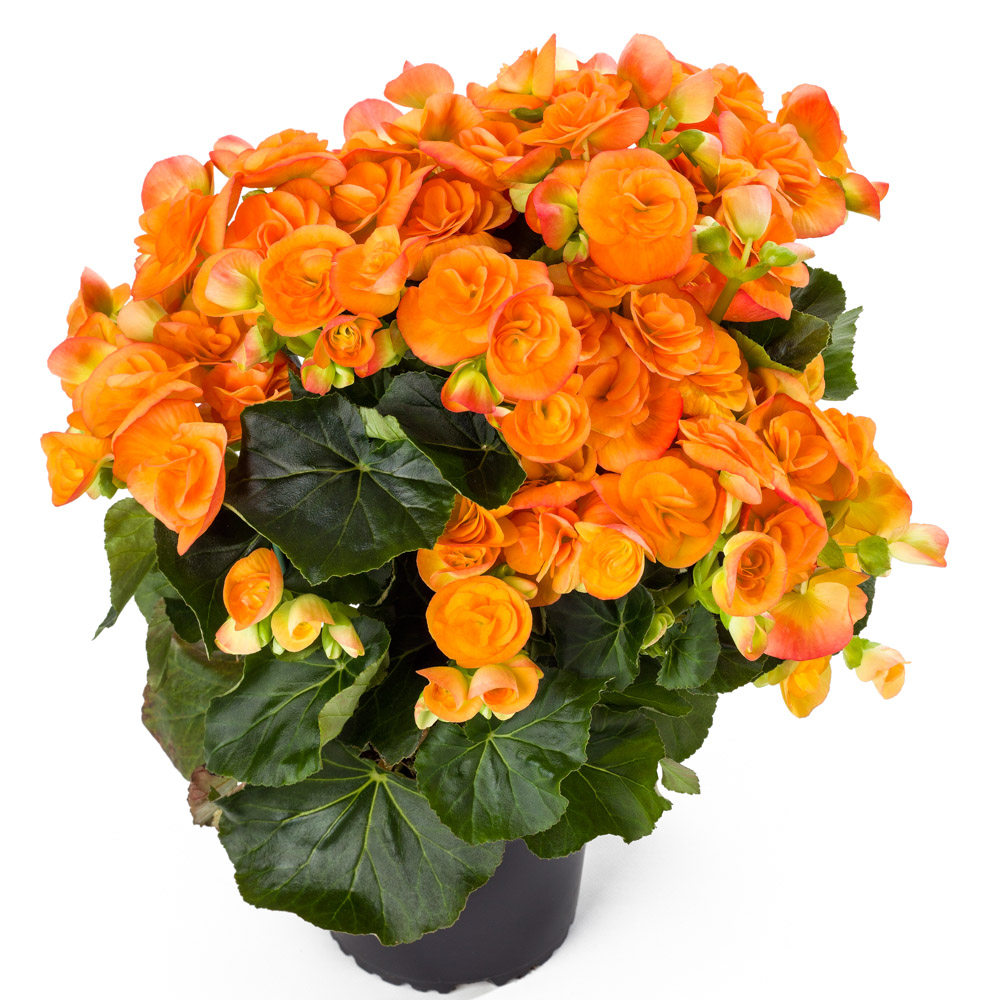 begonia ilona collection amber stone beekenkamp plants. Black Bedroom Furniture Sets. Home Design Ideas