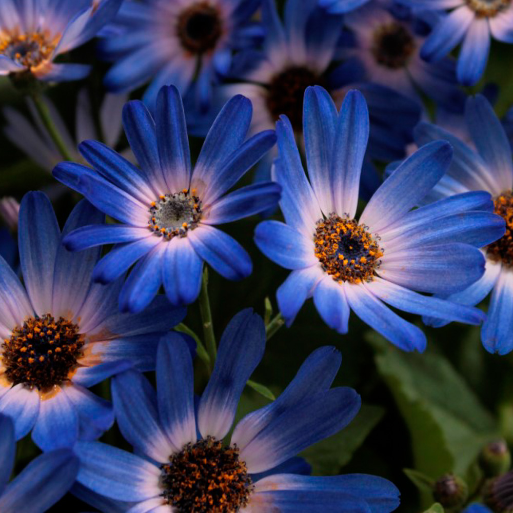 Pericallis Senetti® Magic Blue℗