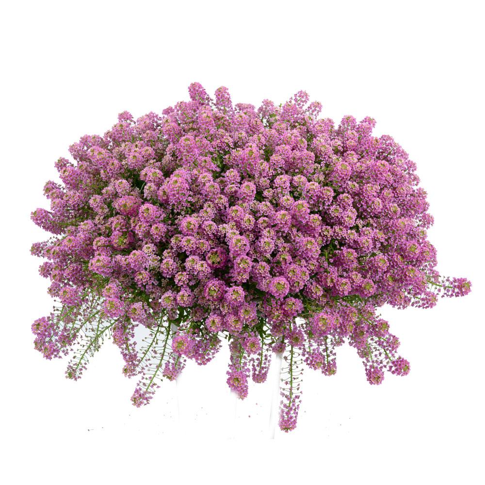 Lobularia stream raspberry beekenkamp plants - Plantas para arriates ...