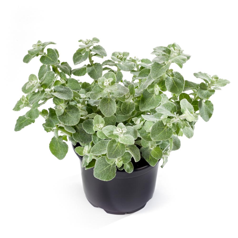 Helichrysum blue green beekenkamp plants - Plantas para arriates ...