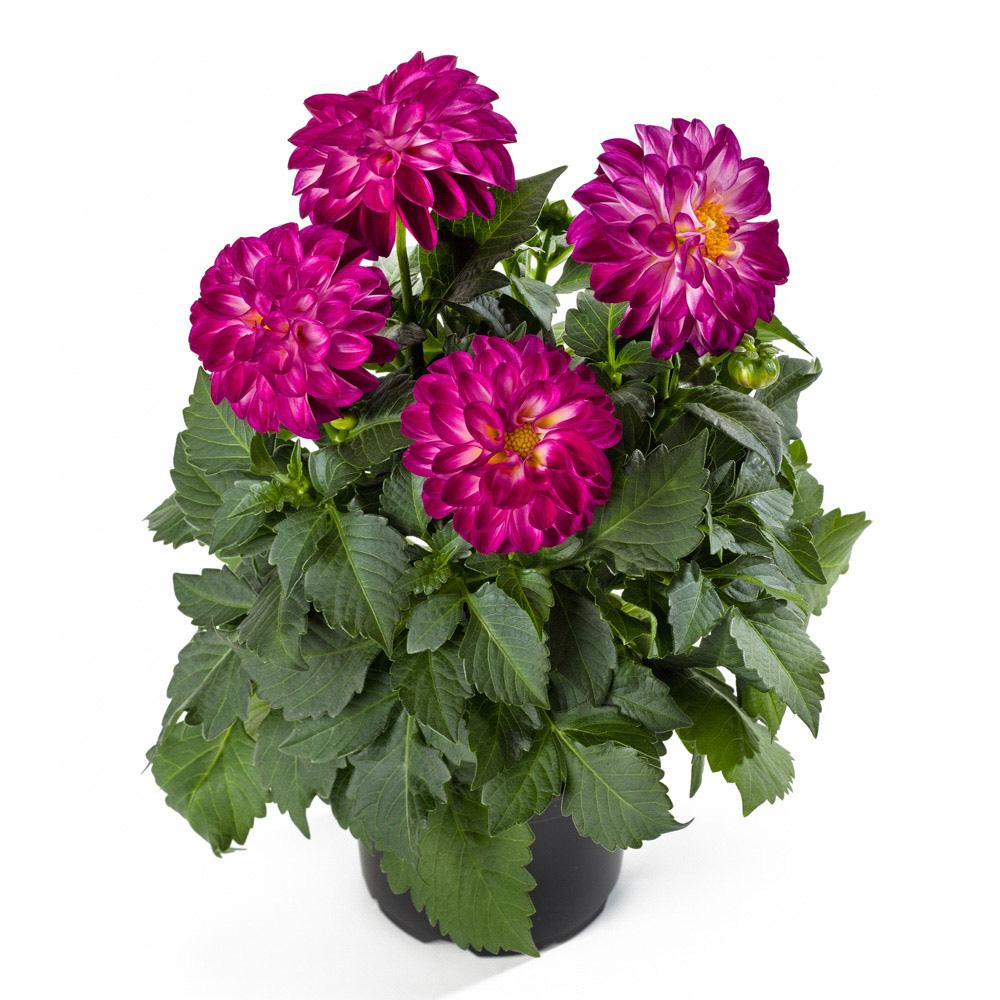 Dahlia labella medio fun violet flame beekenkamp plants - Plantas para arriates ...