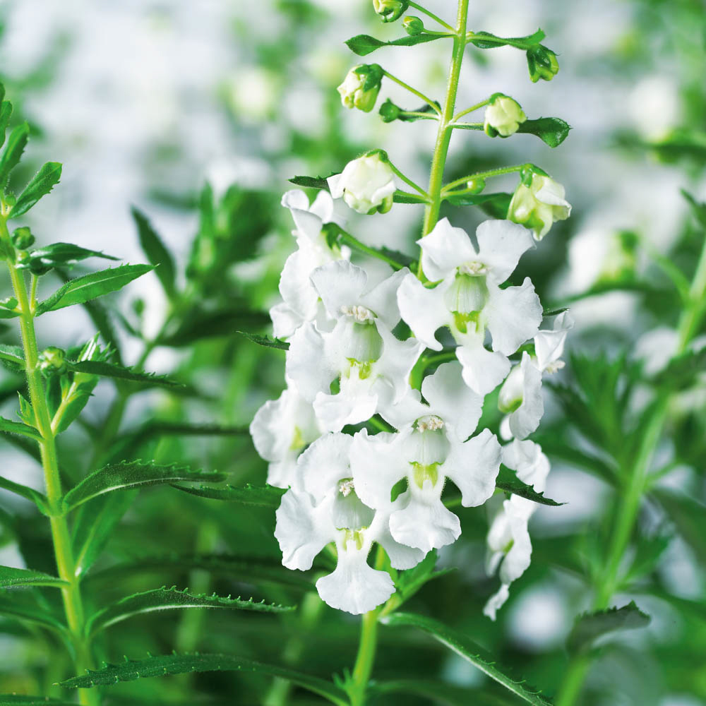Angelonia Angelos® White℗