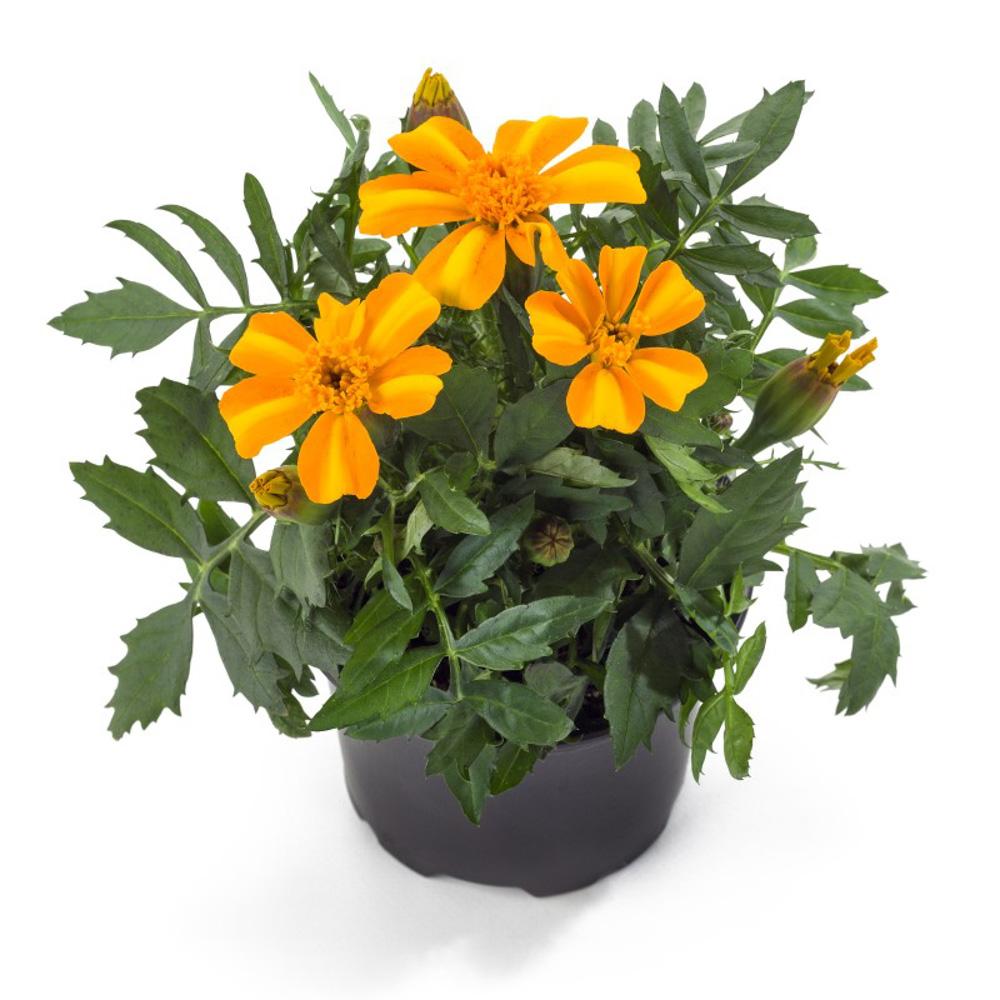 Tagetes bambino beekenkamp plants - Plantas para arriates ...