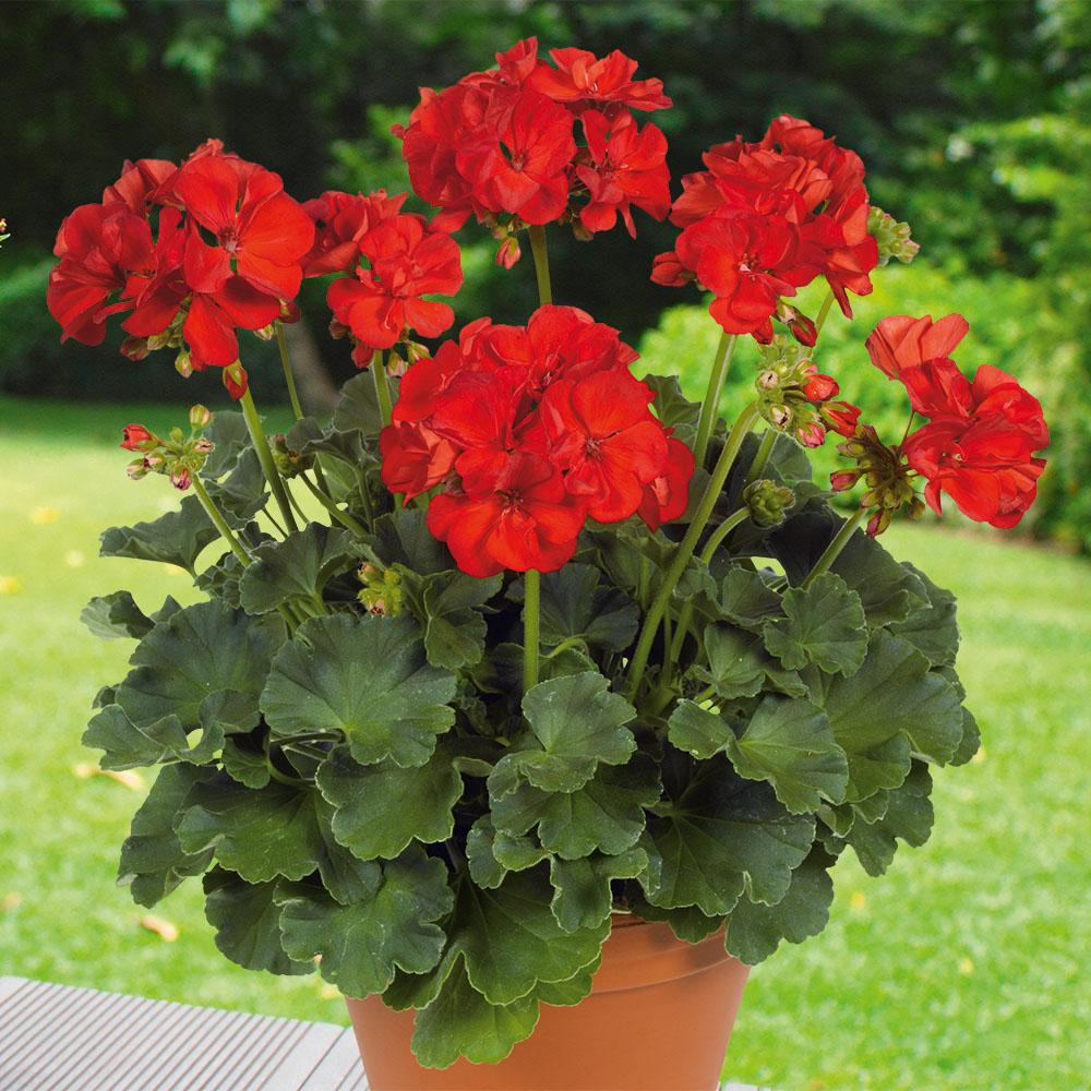 Pelargonium compact line hidemi beekenkamp plants - Plantas para arriates ...
