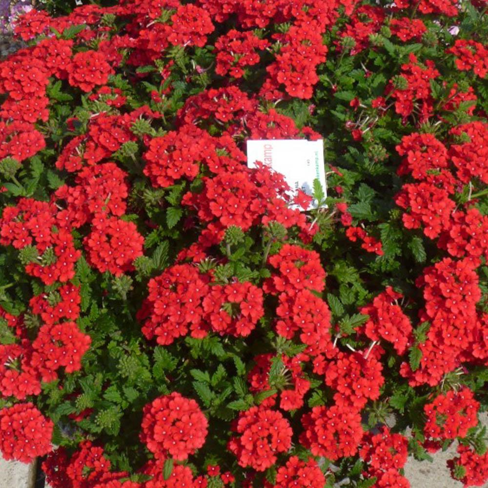 Verbena magelana scarlet improved beekenkamp plants - Plantas para arriates ...