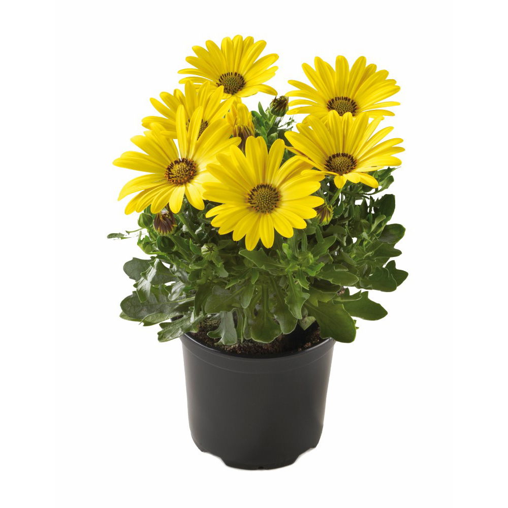 Osteospermum Sunny Compact Asti℗