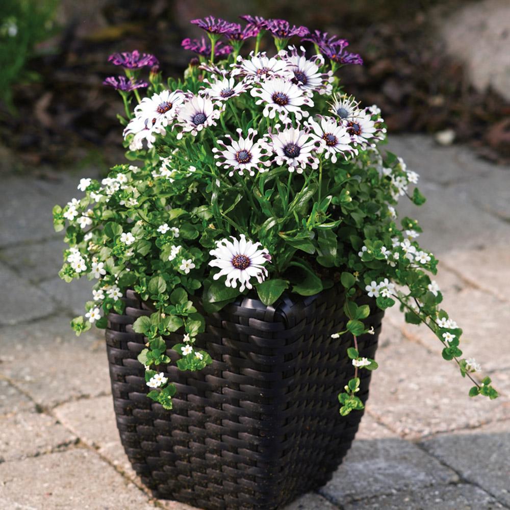 osteospermum sunny philip beekenkamp plants. Black Bedroom Furniture Sets. Home Design Ideas