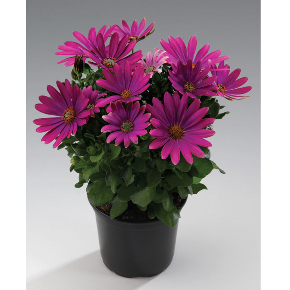 osteospermum sunny xita beekenkamp plants. Black Bedroom Furniture Sets. Home Design Ideas