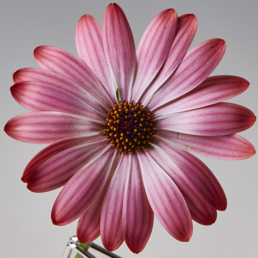 osteospermum sunny hot pink halo beekenkamp plants. Black Bedroom Furniture Sets. Home Design Ideas