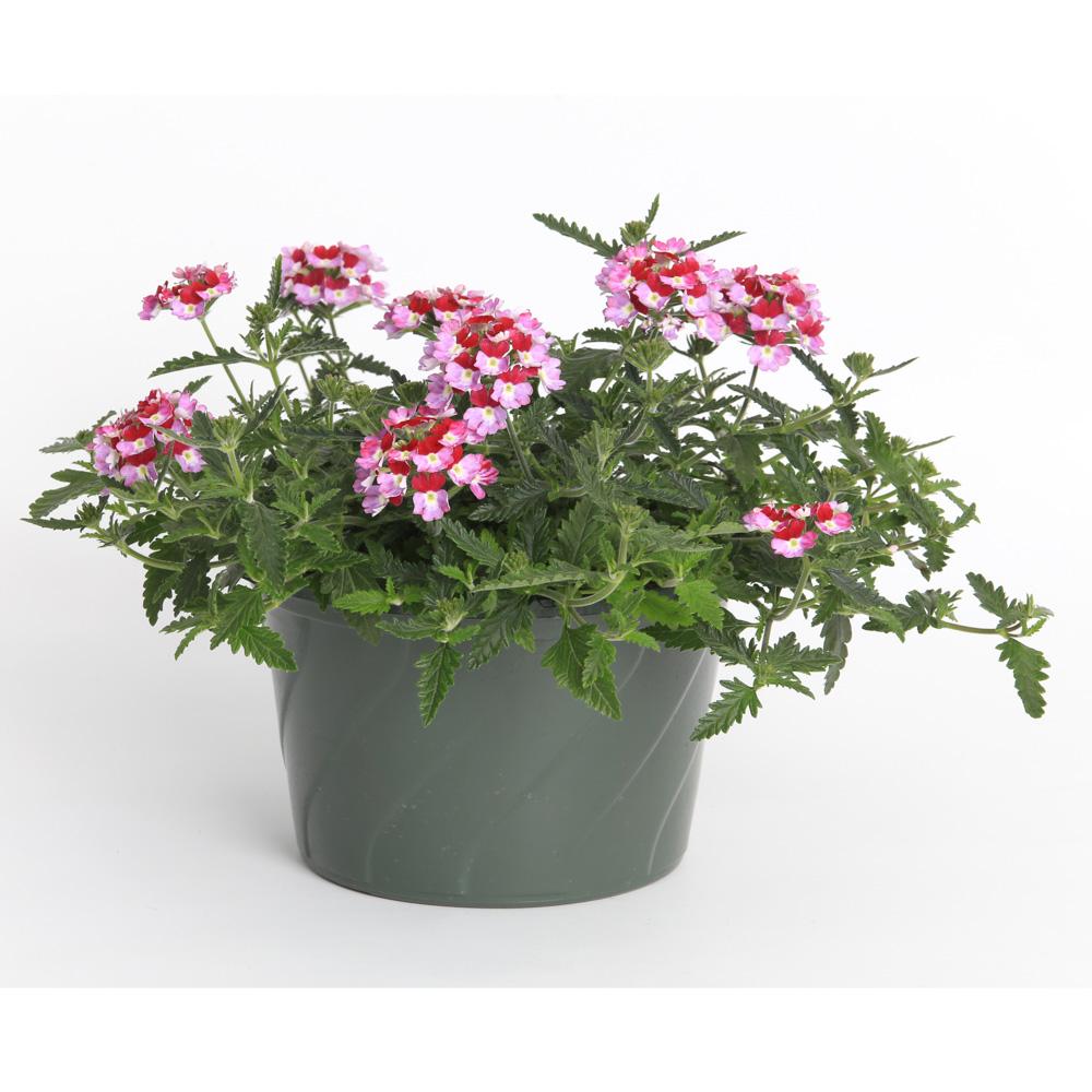 Verbena lanai twister burgundy impr beekenkamp plants - Plantas para arriates ...