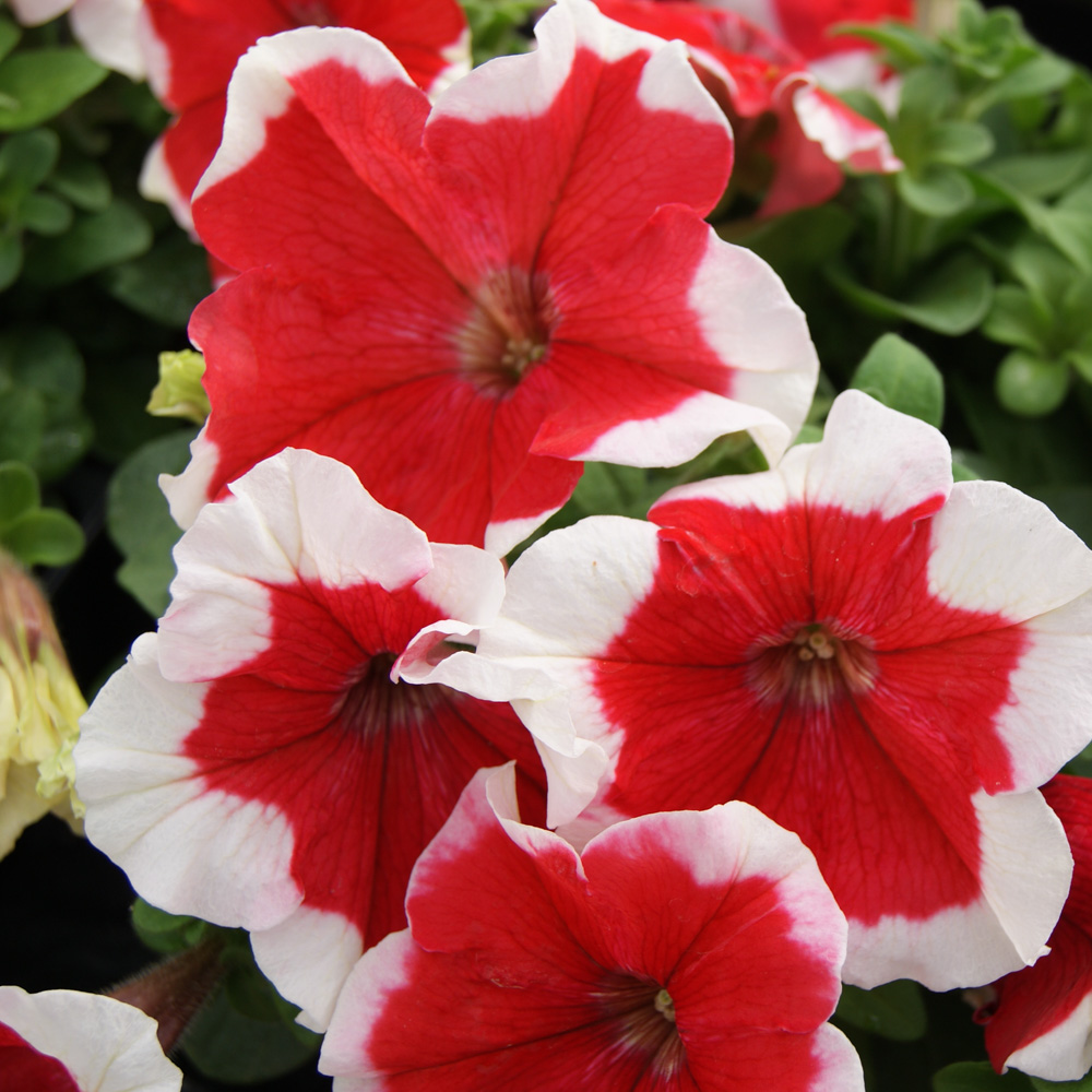 Annuals from seed overzicht page 17 of 23 beekenkamp plants petunia limbo red picotee gp izmirmasajfo