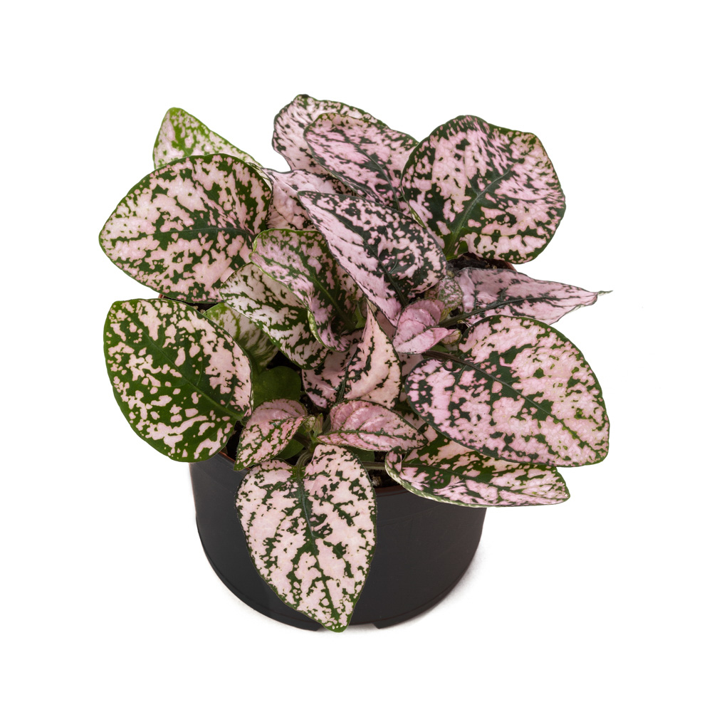 Hypoestes Decor Pink