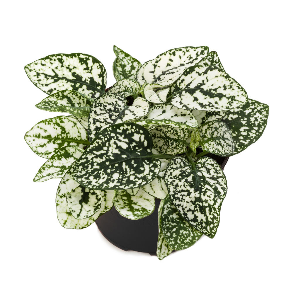 Hypoestes Decor White