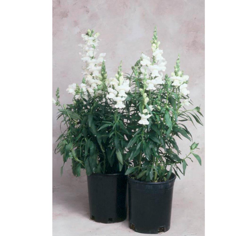 Antirrhinum sonnet f1 white beekenkamp plants - Plantas para arriates ...