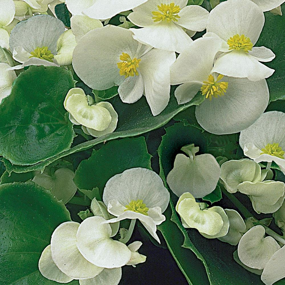 Begonia Ambassador White Impr.