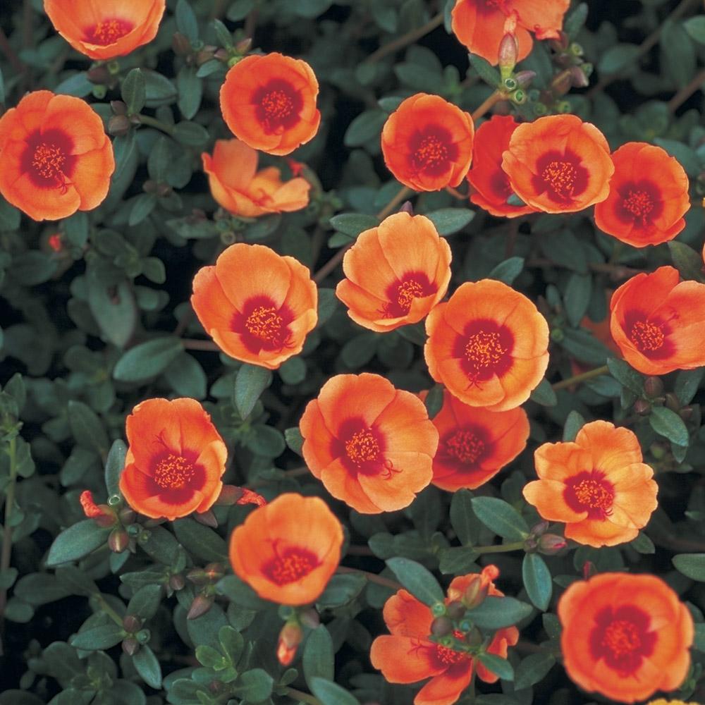 portulaca summerstars orange beekenkamp plants. Black Bedroom Furniture Sets. Home Design Ideas