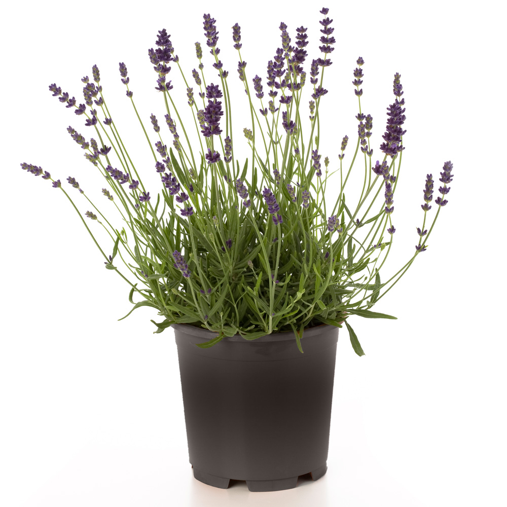 Lavandula Hidcote Blue (Cutting)
