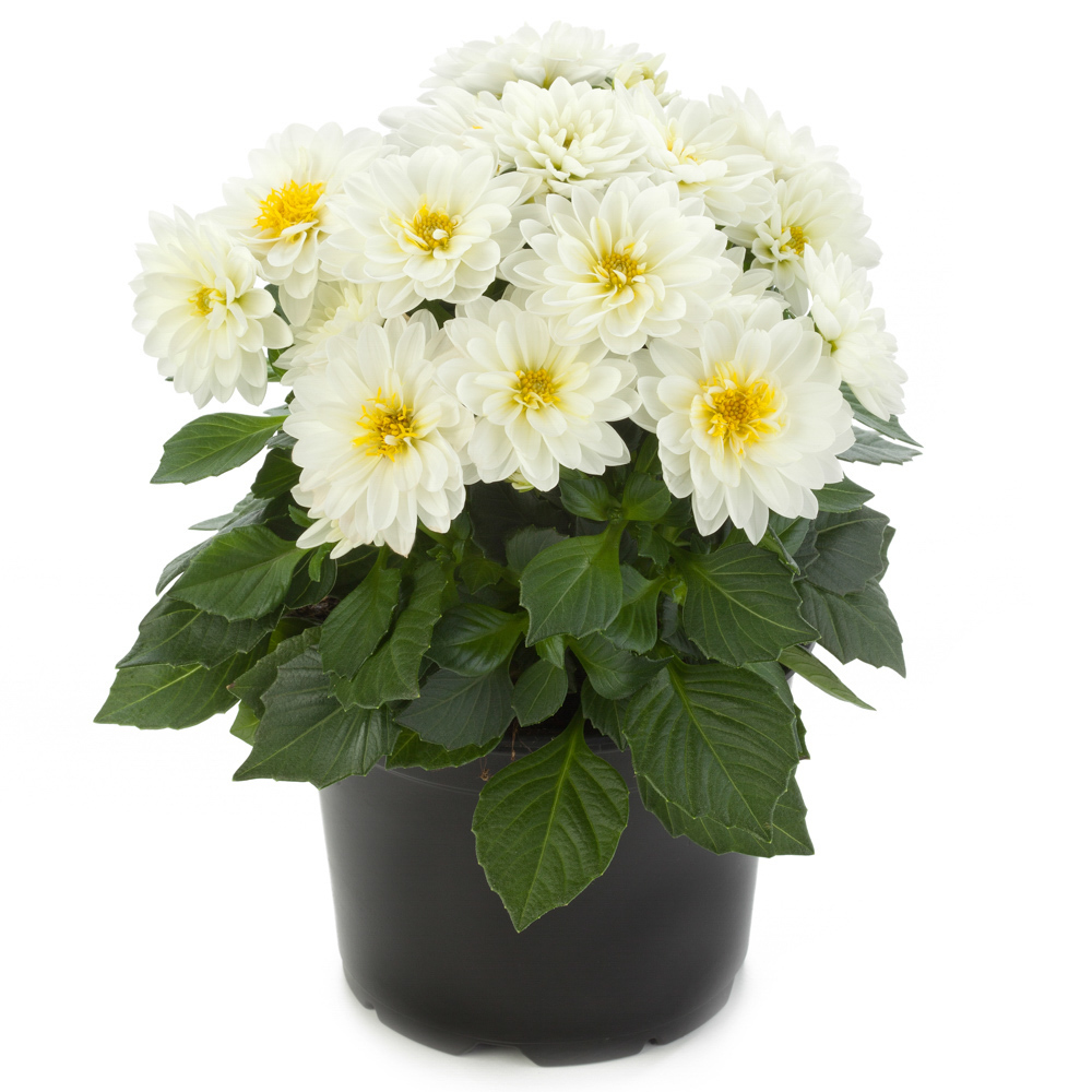Dahlia labella piccolo white beekenkamp plants - Plantas para arriates ...