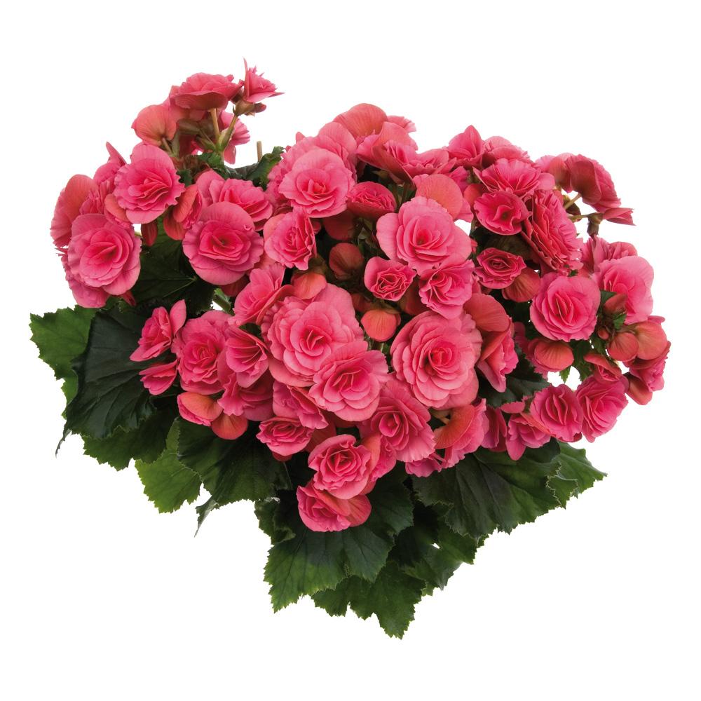 Begonia Barkos-Collection Berseba Pink℗