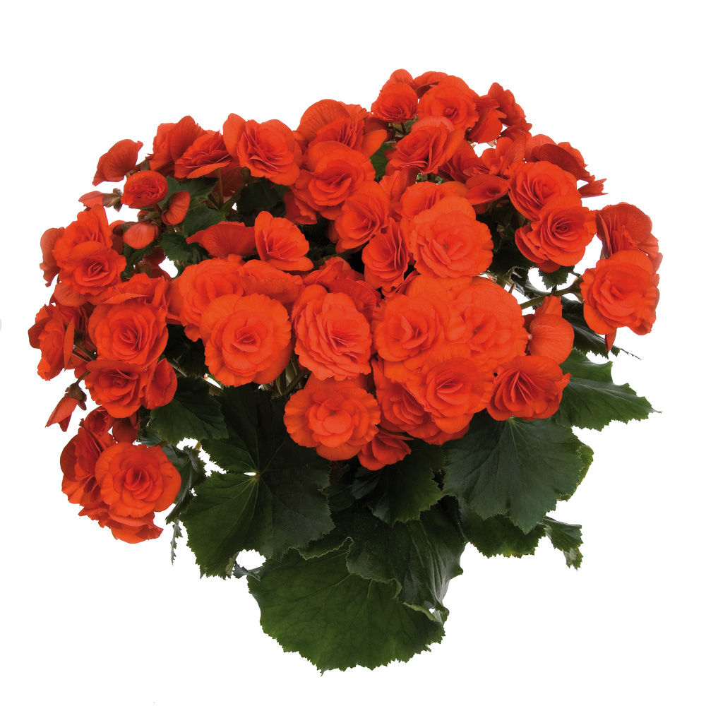 Begonia Barkos-Collection Balamon℗