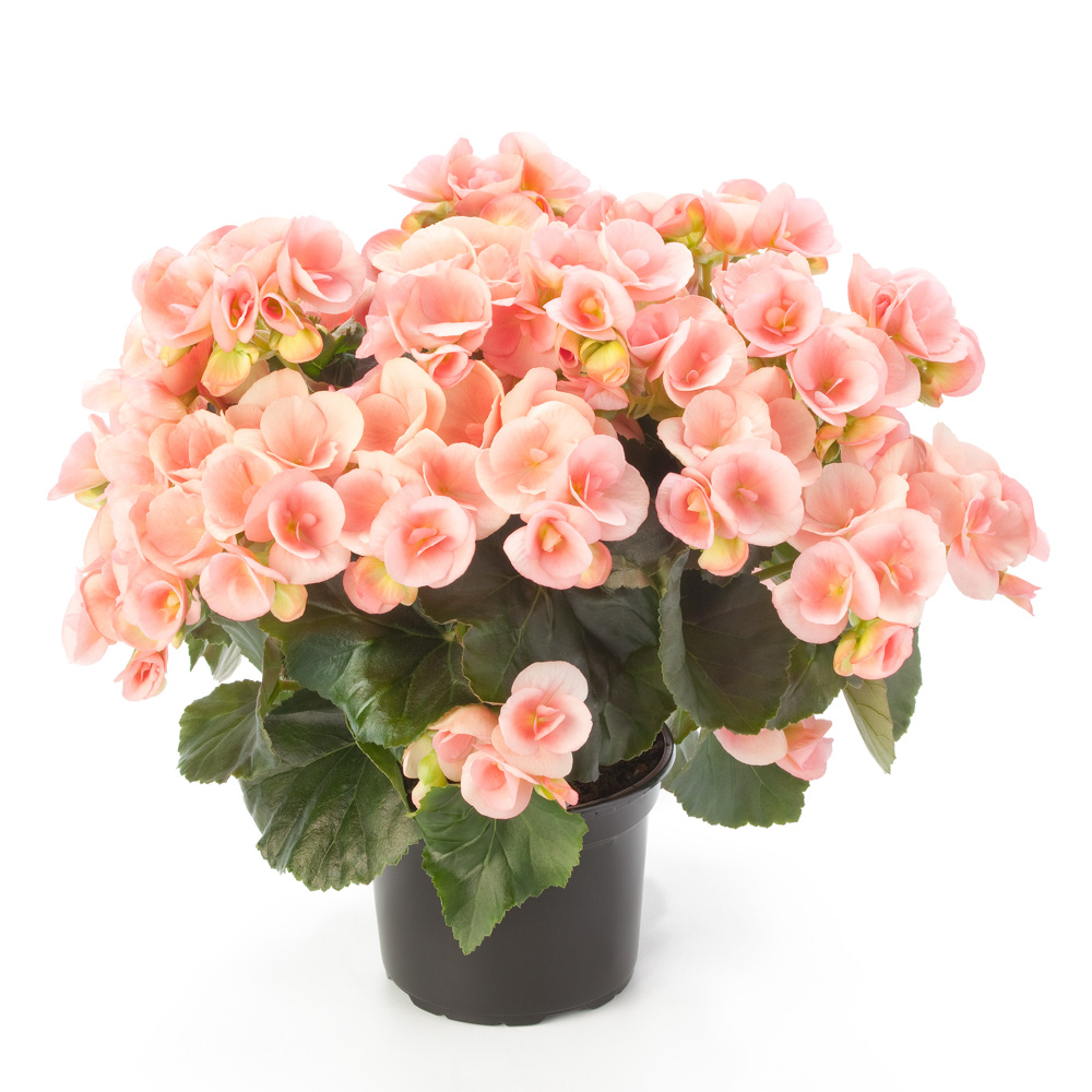 Begonia Ilona Collection Nelly